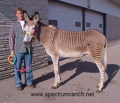 A lovely white pointed Zedonk/Zonkey