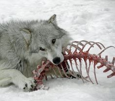 Delicious Spinal Column by Canislupuscorax A gray wolf (Canis lupus) of the High Country Wolf Pack enjoying some enrichment at the Grizzly & Wolf Discovery Center in West Yellowstone, MT. Skyrim, Of Wolf And Man, Canis Lupus, Husky, West Yellowstone, Merian, She Wolf, Sansa Stark, Bran Stark