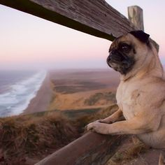 Point Reyes Adventure Pug Deep In Thought Pug Photos, Dog Pictures, Pug Puppies, Pet Dogs, Teacup Pug, Teach Dog Tricks, Cute Pugs, Funny Pugs, Baby Pugs