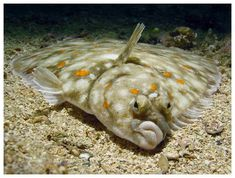 flounder pictures - Google Search