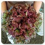 Organic New Red Fire Lettuce