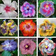 Beautiful 24 different colors Japanese bonsai potted hibiscus seed courtyard garden flowers 50PCS