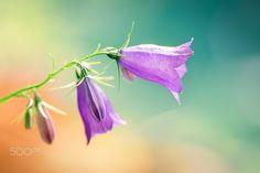 Bellflowers -