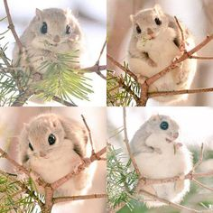 """These super cute animals (momonga) can only be found on Hokkaido, one of Japan's most unspoiled islands..."""