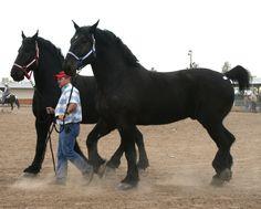 Черные Лошади, Любовь Лошадей, Красивые Лошади, Лошади Першерон, Андалузская Лошадь, Фризская Лошадь, Конюшни, Животные, Фильм Прекрасные Создания