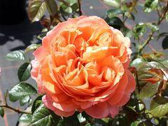 Capri ® Edelrosen aus eigener Produktion in Top Gärtnerqualität - Hier bestellen und preisgünstig liefern lassen ! Capri, Flowers, Plants, Roses, Garden Centre, Pink, Rose, Plant, Royal Icing Flowers