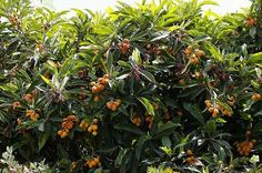 Jake Mace's 10 Favorite Trees and Wood Chips Don't miss an episode! Click here to sign up for weekly podcast updates. Which trees give you the most bang for your buck? What are the most nutritious fruits to grow? Urban farmer Jake Mace weighs in on his Top 10 favorite trees to grow, some tree-growing tips, and what he loves about each of these trees.  Jake's secret for growing thriving trees? Wood chips! Listen for how to use them and why he is convinced they may be the BEST thing you can do…