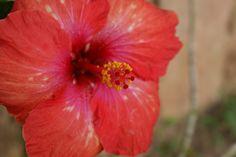 flor de cayena roja DFC.