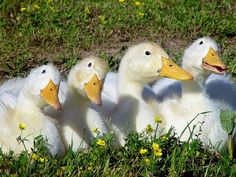 (Gerepinnend) White Ducks