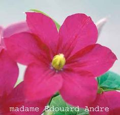 Mme. Eduard Andre. July-Sept. 12'. Bloom on new wood, prune group C - in Feb