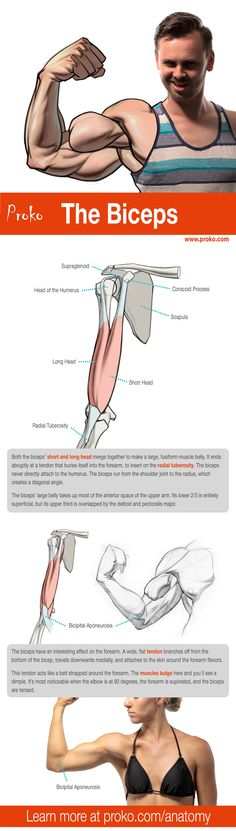 Learn about the Biceps! More anatomy drawing lessons at proko.com/anatomy