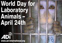 Marked worldwide for almost 35 years, World Day for Laboratory Animals is a focal point for those opposing animal experiments. Help our friends at the NAVS highlight the suffering of lab animals – contact your MP to oppose secrecy in the lab, take to the streets with leaflets - Get involved!  Pinterest won't le me post the link, so check this page on FB  https://www.facebook.com/AnimalDefenders
