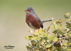 https://flic.kr/p/25UHNuz | Curruca rabilarga/Madrid/España | Long tailed warbler/Spain