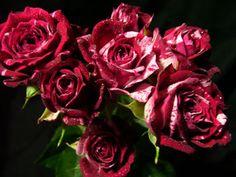 Spray Rose - Arrow Follies