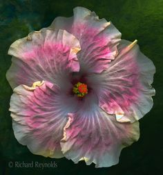 "Hibiscus ""Marla's Song"" - Flickr - Photo Sharing!"