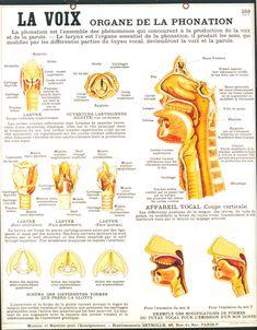 La voix, organe de la phonation Dental, Nursing Students, Learn French, French Language, Anatomy, Health Fitness, Science, Education, Medicine