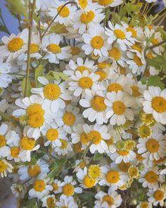 #witch #herbalism #plants #holistic #organic #gardening #medicine #migraine #aesthetic #flowers #daisy