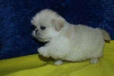 Cream and white shih tzu female puppy shih tzu cute dogs puppies - Imperial westies ...