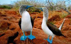 pajaros-patas-azules-9420.jpg