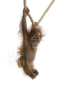 Baby orangutan. bukitlawangtourtrekking.com
