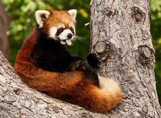 35 Extremely Cute Red Panda Photography that Will Make You Go Awe ...