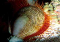 Lima scabra, as Flame Scallops