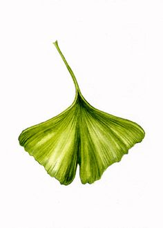 botanical illustrations gingko - Поиск в Google Botanical Illustration, Botanical Prints, Hidrocor, Beautiful Sketches, Nature Drawing, Realistic Drawings, Leaf Art, Painting Patterns, Leaf Prints