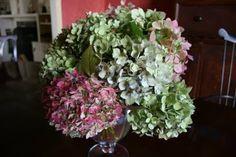 heirloom gardener: an Arrangement of Mophead Hydrangeas