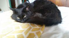 Chantilly-Tiffany cat. Nap time!