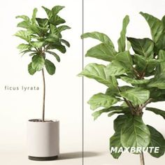cây bàng 3dmax #16 - Maxbrute cây nội thất 3dmax tải về nhanh House Plants Decor, Plant Decor, Plantas Indoor, Fiddle Leaf Fig Tree, Plant Cuttings, Rooftop Garden, Indoor Garden, 3d Models, Interior Plants