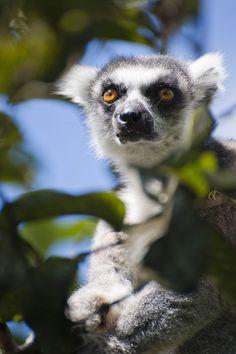 Mada's lemurian