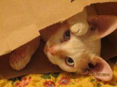 Devon Rex Cat, Sparky: Jan. 2014...Peek-a-boo!