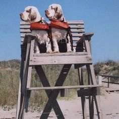 """This picture was taken at Caswell Beach, North Carolina! I love Clumbers but how cute is this! """"Lifeguards on duty!"""""""