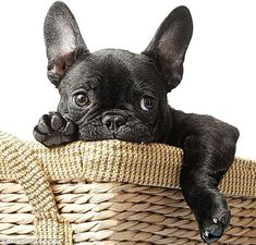 All ears: French bulldogs are loved for their comical looks... http://dailym.ai/1mTh19S#i-abcf0e83
