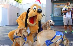 The luckiest service dogs in the world are the ones trained at Disneyland: http://micechat.com/17807-dogs-invade-disneyland/