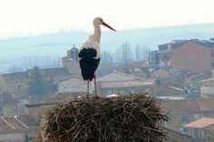 ~ White storks nest en masse in western and northern Spain