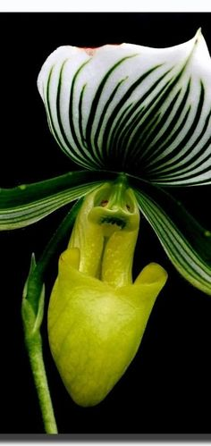 Green Peace (Paphiopedilum) Lady Slipper Orchid #flowers