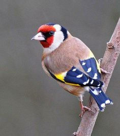 European Goldfinch. To be paired with an American Goldfinch.