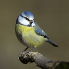The Eurasian Blue Tit - Cyanistes caeruleus, is a small passerine bird in the tit family Paridae. This species is widespread and a common resident breeder throughout temperate and subarctic Europe and western Asia in deciduous or mixed woodlands with...