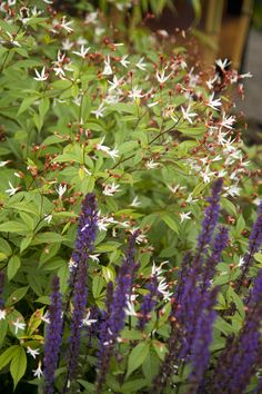 Native Bowman's Root (Gillenia trifoliata) paired with deep purple salvia | The Floramagoria Garden, Portland, OR | Scott Weber PDX's photos on Flickr