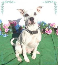 BANDIT available 3/18-FRIENDS OF SHELTER ANIMALS FOR COBB COUNTY 1060 Al Bishop Drive Marietta, GA 30008 ckersey533@aol.com