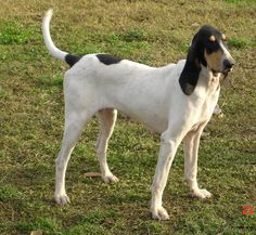 Gascon Saintongeois. With a good nose and beautiful gallop. #DogBreeds