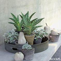 Wohndeko: Grau-grüne Zimmerpflanzen beleben Interieur - Ensemble auf Tablett