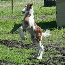 Baby gipsy horse