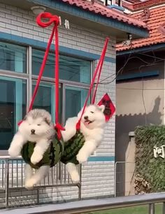 animals fluffy Cute doggies Just keep swinging Cute Animal Memes, Cute Animal Videos, Cute Animal Pictures, Cute Funny Dogs, Cute Funny Animals, Cute Cats, Cute Husky Puppies, Alaskan Malamute Puppies, Fluffy Dogs