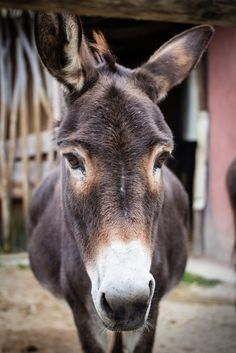 Donkey at the zoo in Osnabrueck, Germany