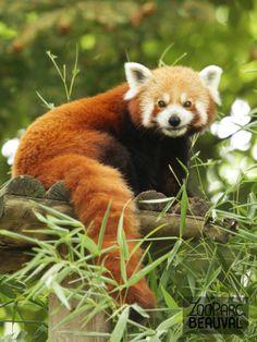 #Panda roux au ZooParc de Beauval