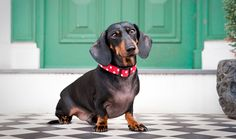 Everything you want to know about Dachshunds including grooming, training, health problems, history, adoption, finding good breeder and more.