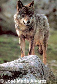Lobo ibérico (Canis lupus signatus)   Fauna Ibérica
