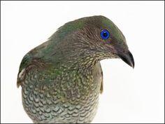 Satin Bowerbird - bird photography print by nature photographer and wildlife carer Angela Roberston-Buchanan. Australian Animals, Wildlife, Satin, Bird, Artist, Nature, Photography, Australia Animals, Naturaleza